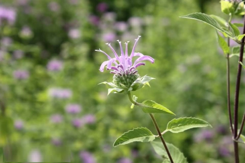 Awesome White Bergamot Flower Plant With Green Beautiful Background