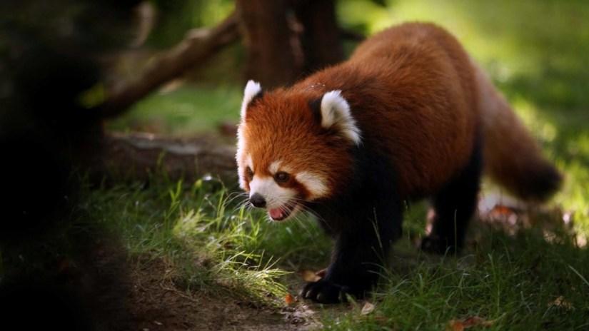 Baby Red Fox Finding Something In Grass 4k Wallpaper