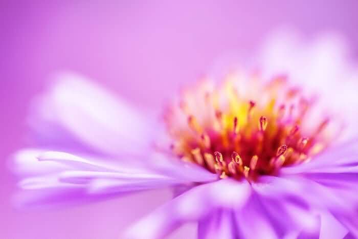 Beautiful Aster Flower With Red Center Mind Blowiin Photo