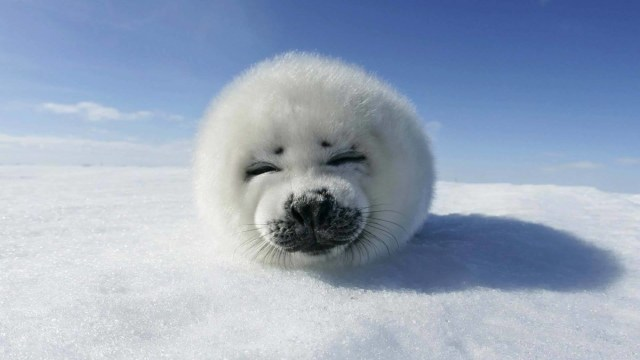 Beautiful Baby Seal 4k Wallpaper
