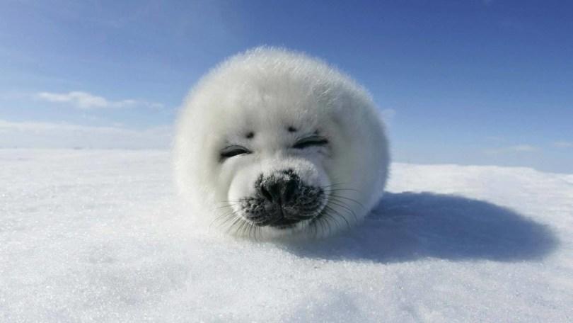 Beautiful Baby Seal 4k Wallpaper