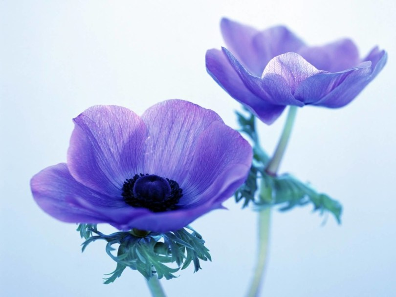 Beautiful Blue Two Anemone Flowers