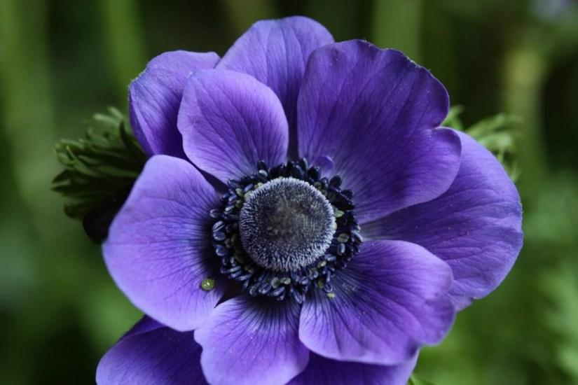 Beautiful Flower Light Blue Anemone