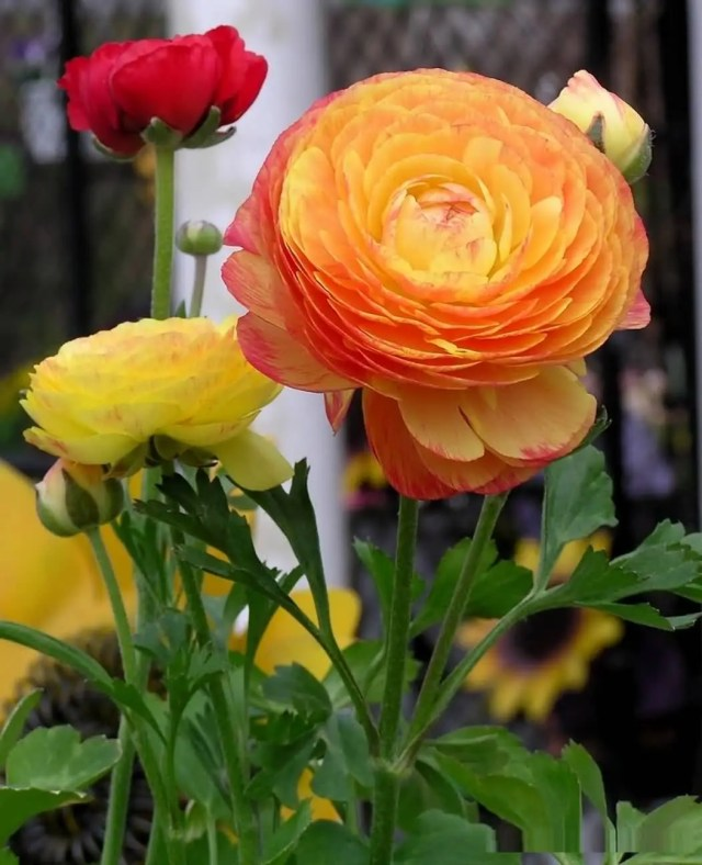 Beautiful Orange Persian Buttercup Flower Plant For Decoration