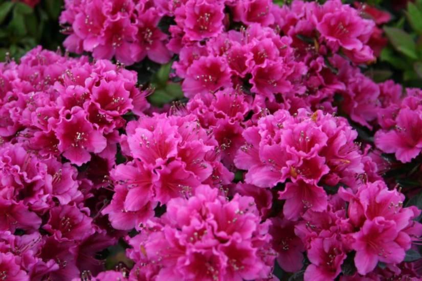Beautiful Pink Azalea Flowers Wallpaper