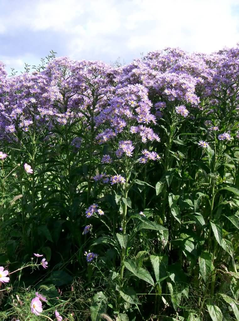 Beautiful Purple Aster Flower Plant With Green Leafs
