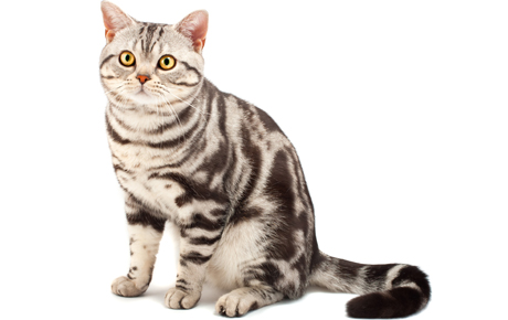 Beautiful lAmerican Shorthair Cat With nice Tail