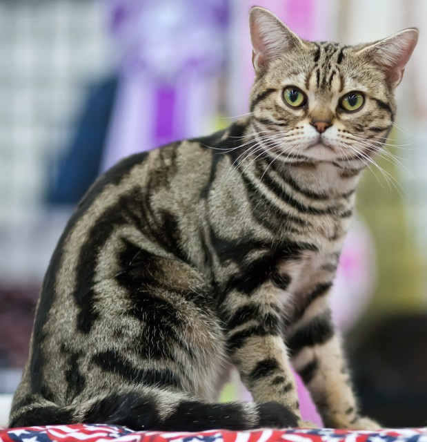 Beautifull American Shorthair Cat With nice Green Eyes