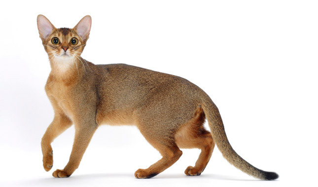 Beautifull Brown Abyssinian Cats Have Lovely Black Eyes looking at you