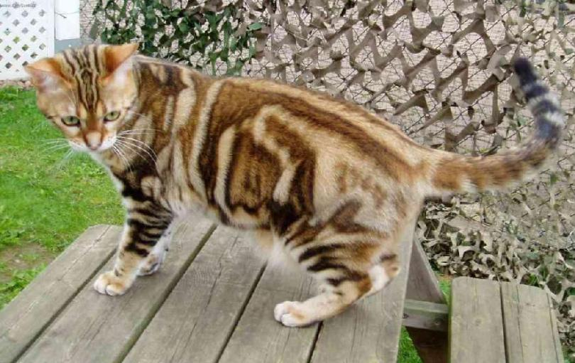 Beautiful Brown American Shorthair Cat Stand On Table and looking for eat