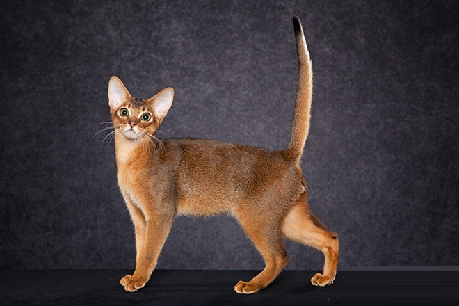 Beautifull Brown colour Ruddy Abyssinian Cats