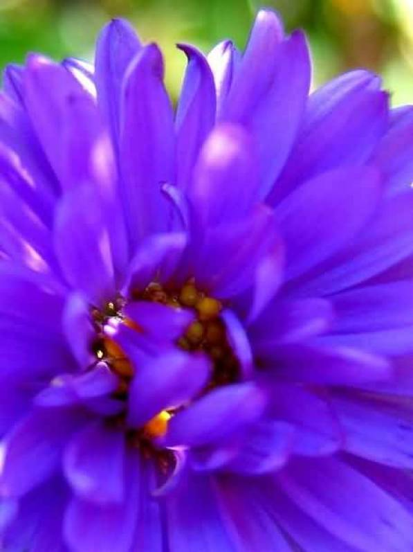 Best Blue Aster Flower With Red Combination