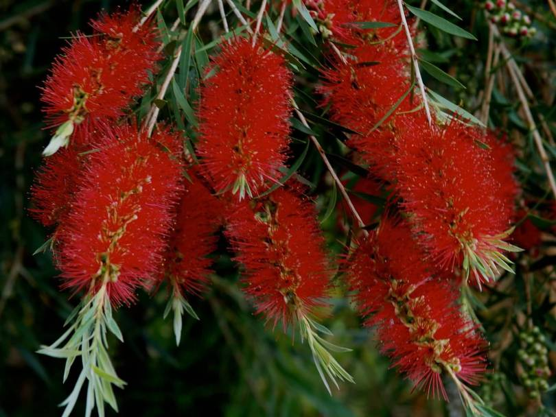 Best Bottle Brush Flower in Plant With Green Leafs