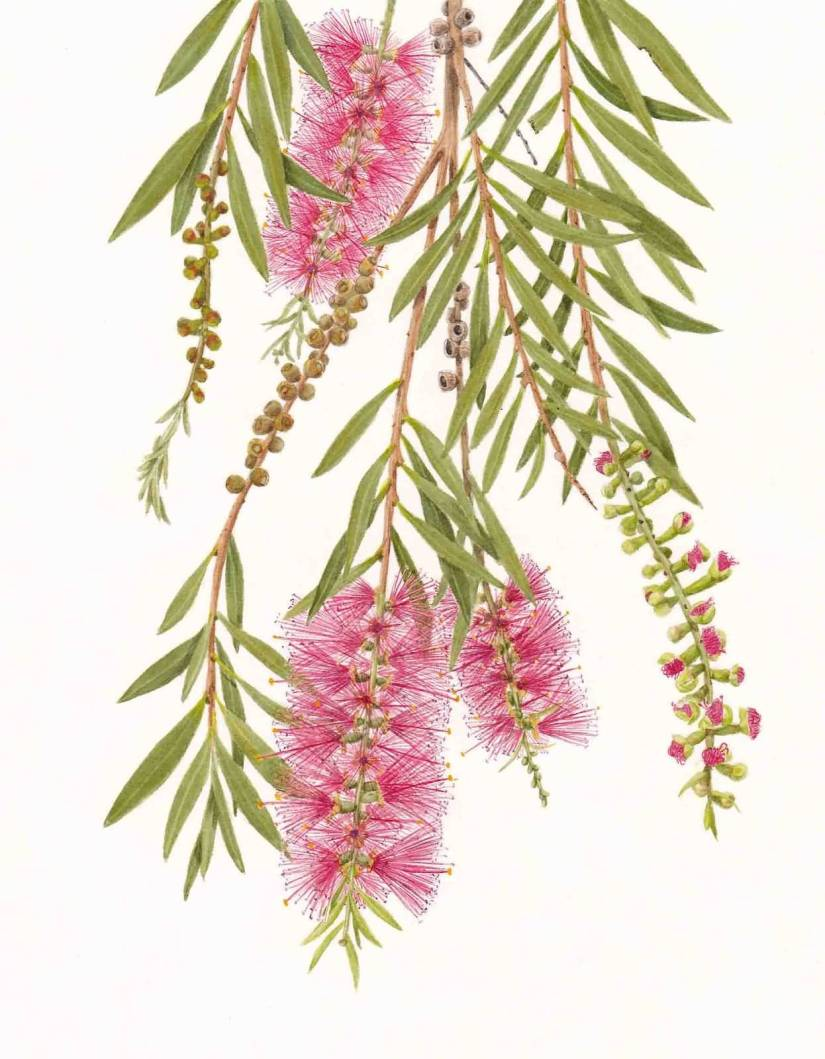 Best Charming Bottle Brush Flower And Leaf With White Background