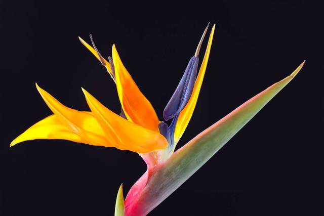 Best Charming Colorful Bird Of Paradise Flower For Wedding Decoration