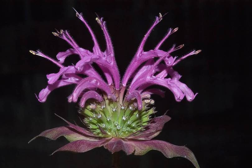 Best Charming Purple Bergamot Flower For Decoratin