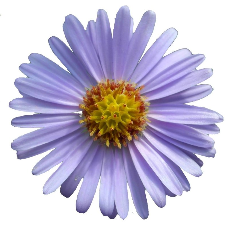 Best Design Of Blue Aster Flower