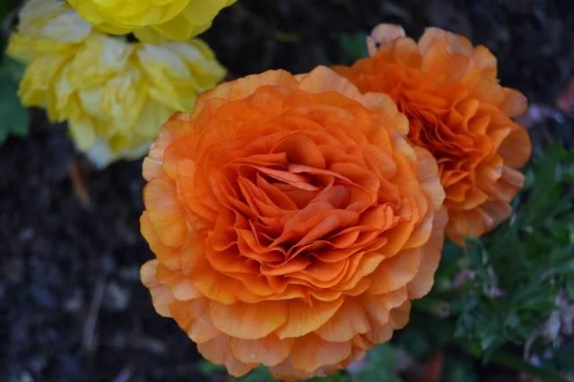 Best Orange Persian Buttercup Flower Wallpaper