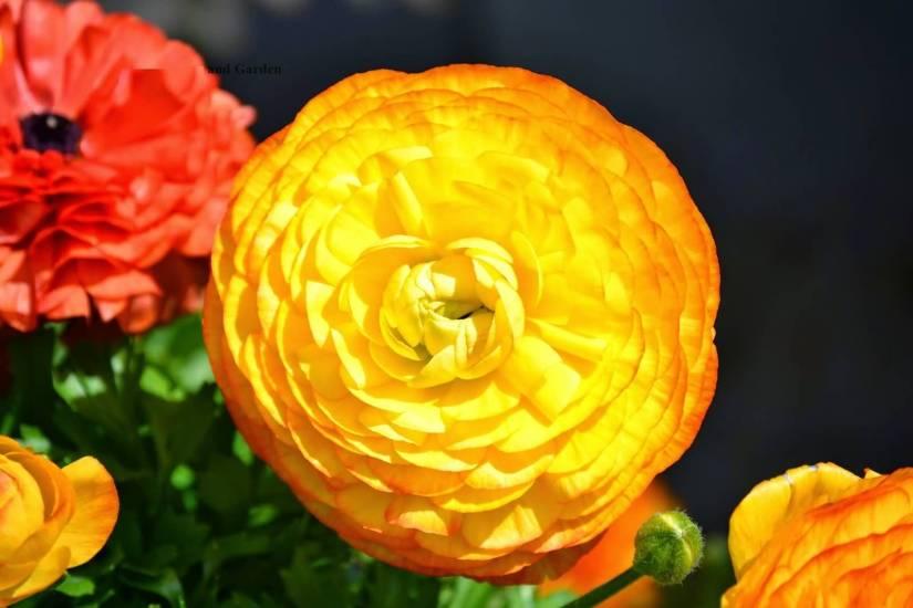 Best Persian Orange Buttercup Flower With Green Leafs