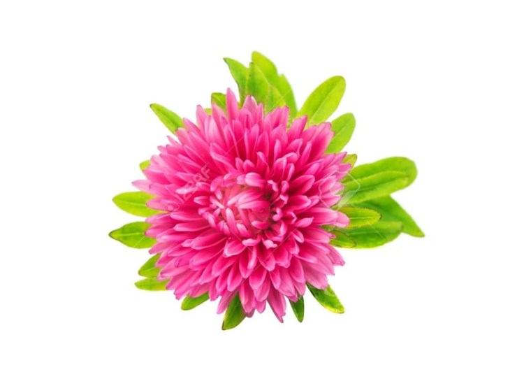 Best Pink Aster Flower With Green Combination