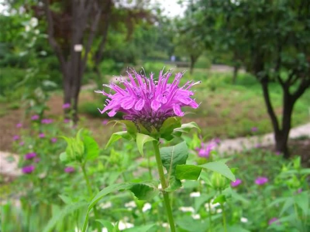 Best Pink Bergamot Flower For Decoration