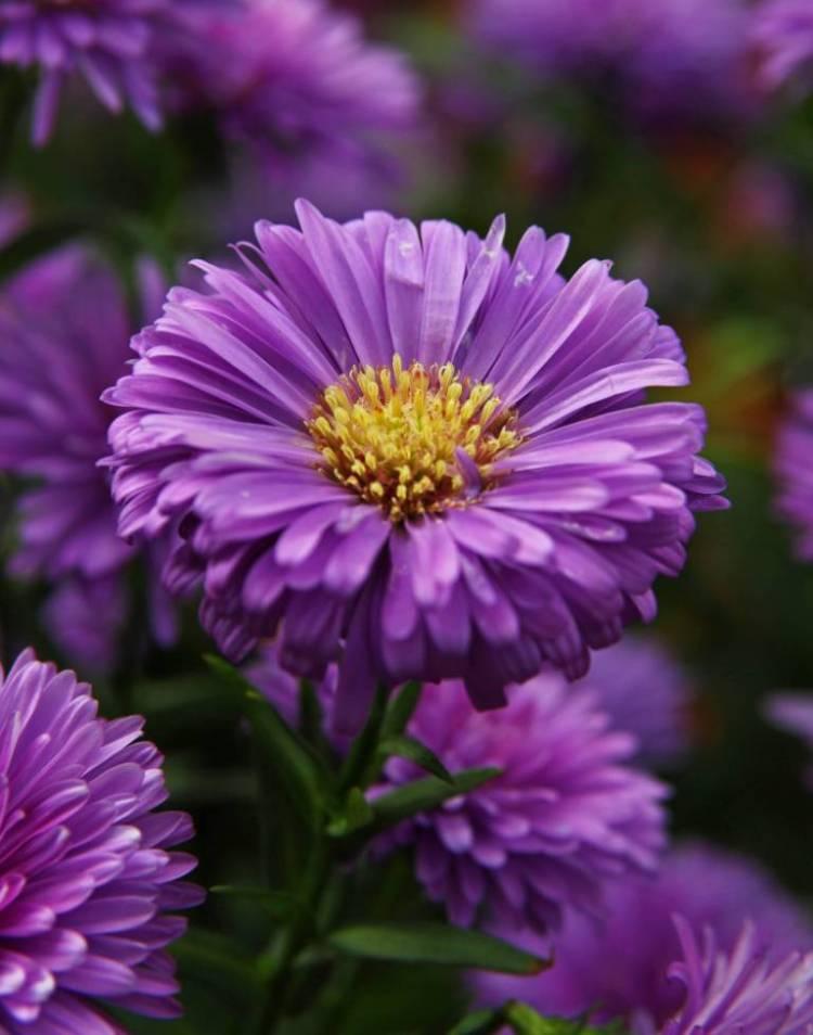 Best Purple Aster Flower For Wedding