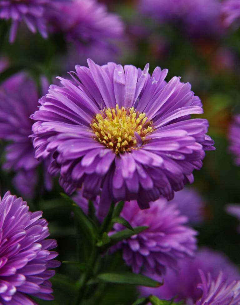 Best Purple Aster Flower For Wedding