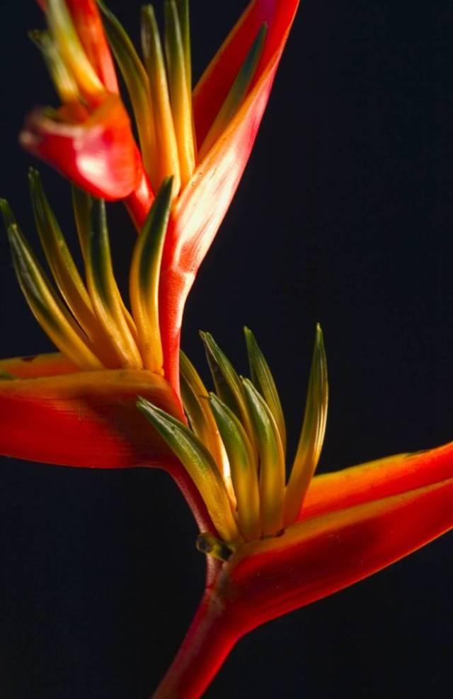 Best Red Bird Of Paradise Flower Wallpaper