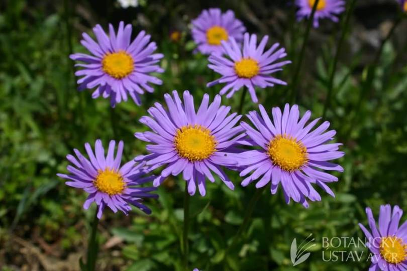 Best Wallpaper Of Blue And Orange Aster Flower Plant