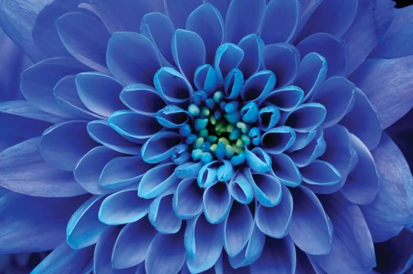 Best Wallpaper Of Blue Aster Flower For Desktop