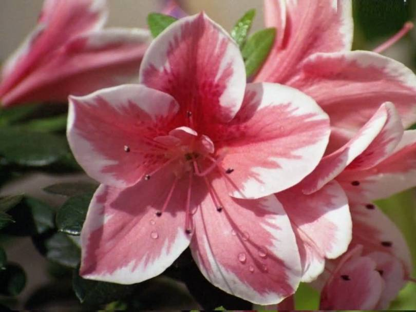 Best White And Pink Azalea Flower For Best Wishing Someone