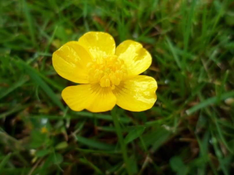 Best Yellow Buttercup Flower With Green Leafs