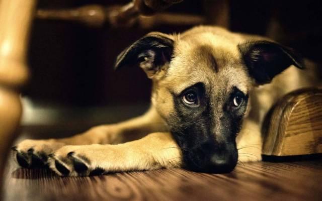 Big Brown Dog Seems Very Sad Hd