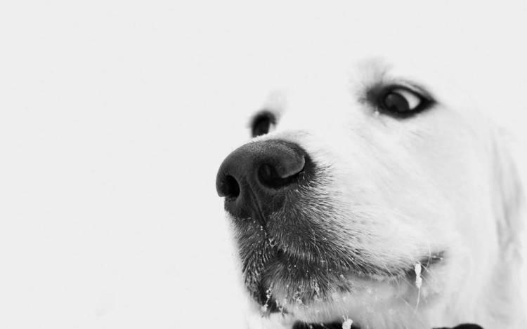 Big Face White Dog 4k Wallpaper