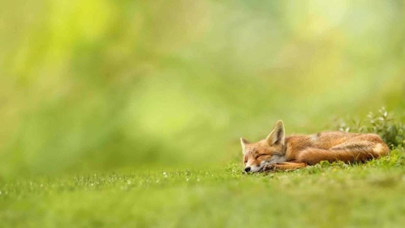 Brown Fox Asleep On The Land Full Hd Wallpaper