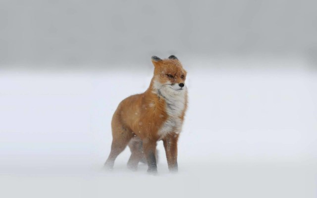 Brown Fox Standing In The Bitter Cold Full Hd Wallpaper