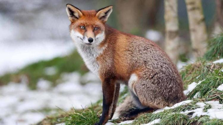 Brown Sad Red Fox 4k Wallpaper