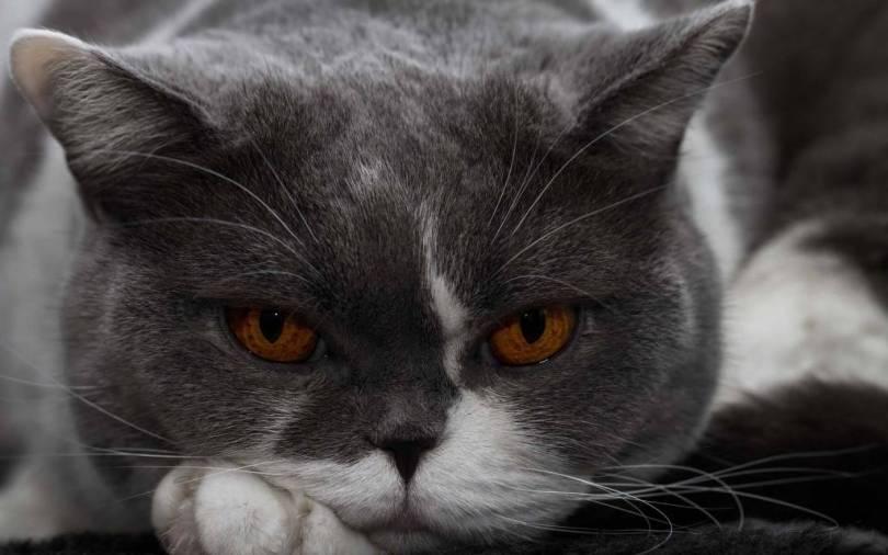 Cat With Beautiful Brown Eyes full HD wallpaper