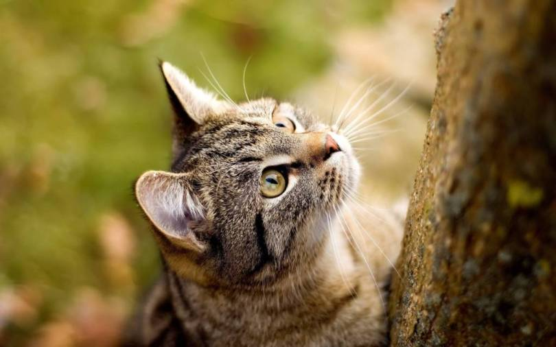 Cute American Shorthair Cat Climbing On Tree and looking for food