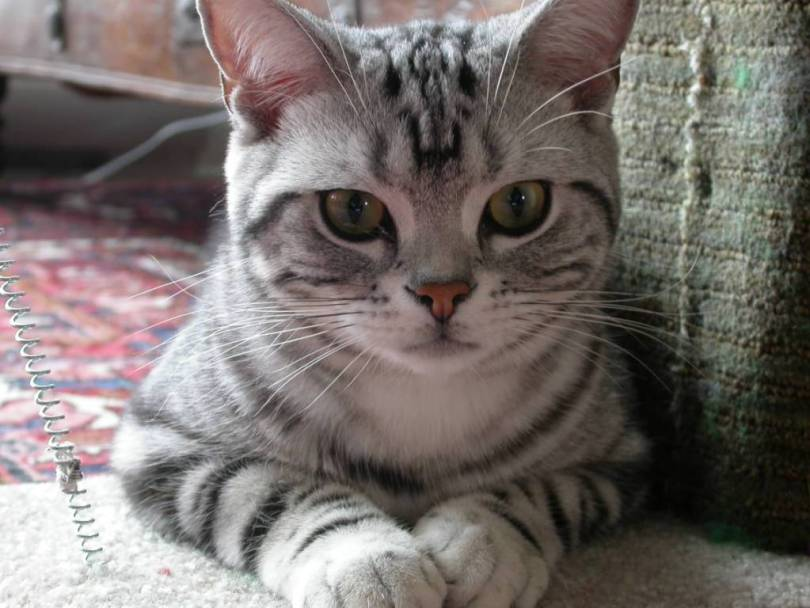 Cute American Shorthair Cat Looking At you
