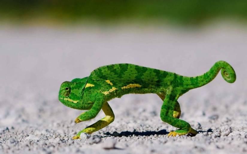 Cute Chameleon 4k Wallpaper