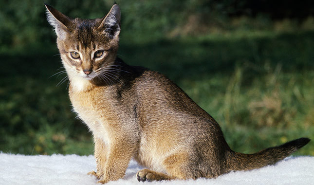 Cute Fluffy Abyssinian Cats Sitting In Snow