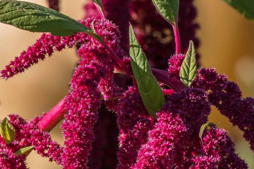 Cute Red Amaranth Flower In Plant Grown In Winter Wallpaper