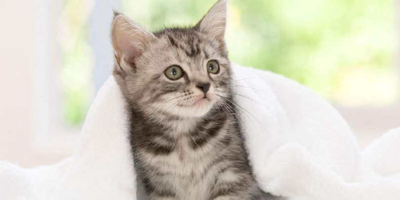 Cute Small mix black and white American Shorthair Cat Kitten In Blanket