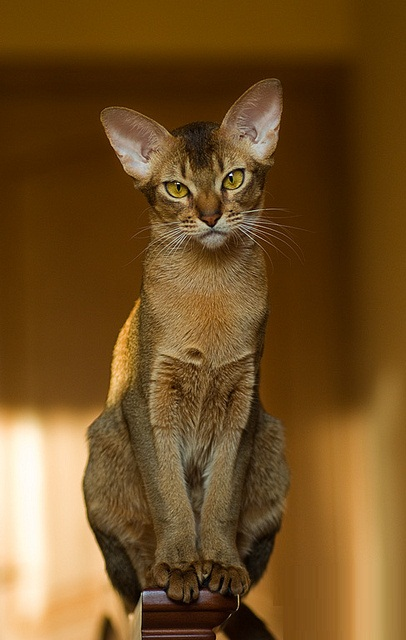 Cute brown Abyssinian Cats Witting On Chair Handle