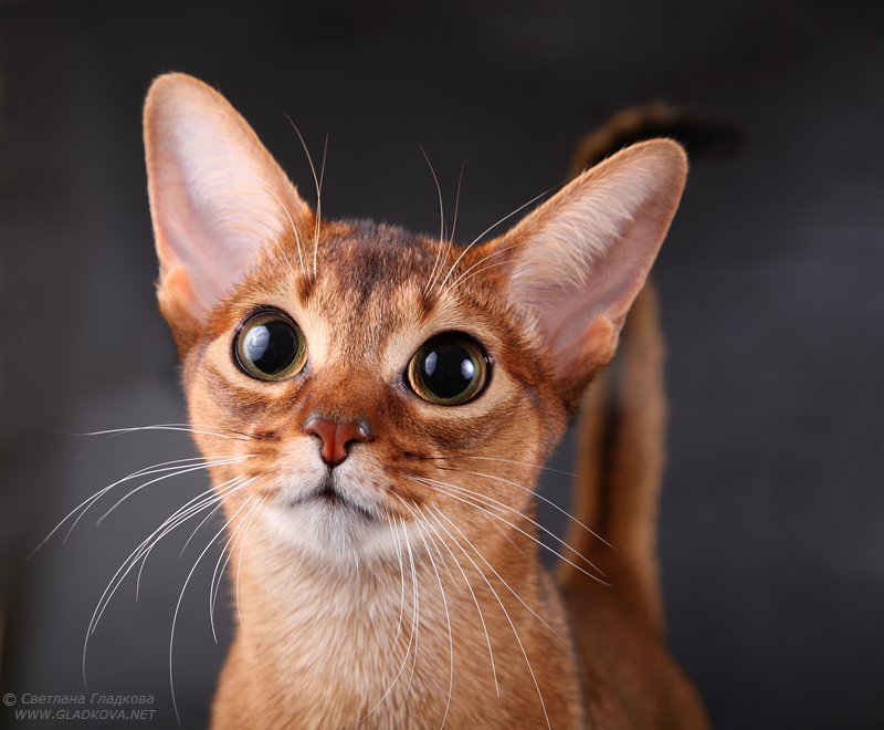 Cutest Abyssinian Cats With large Black Eyes