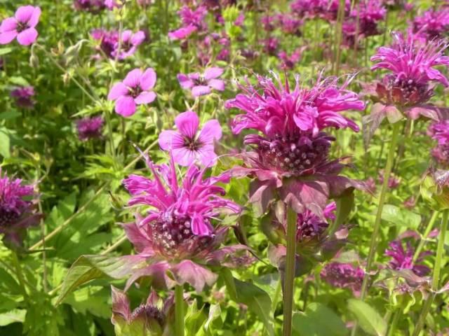 Eye Catching Pink Bergamot Flowers Plant In Garden