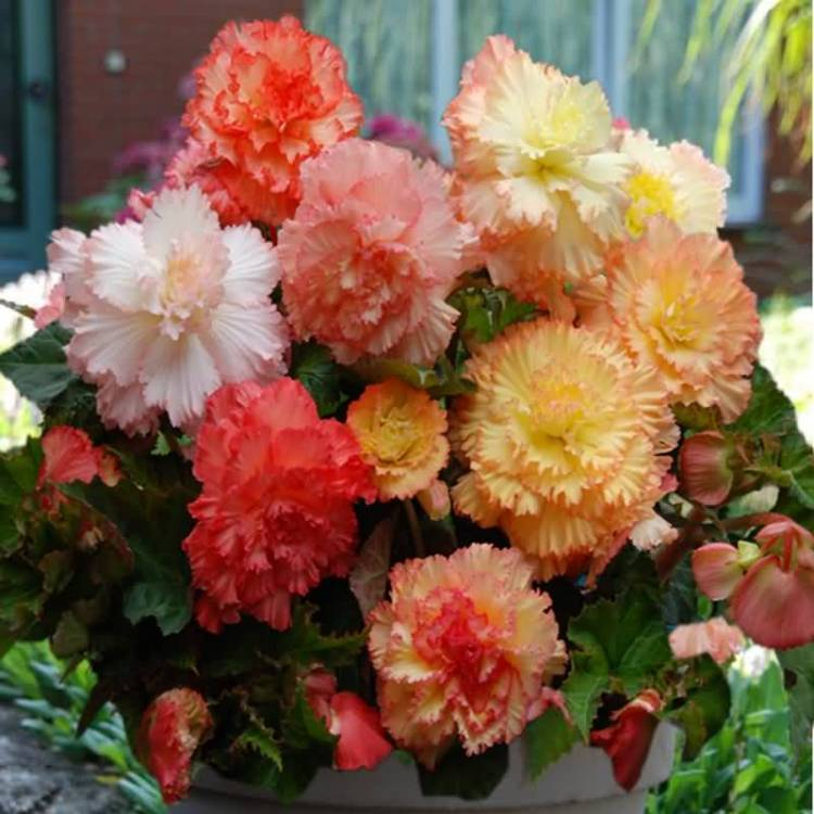 Fabulous Colorful Begonia Flower For Wallpaper