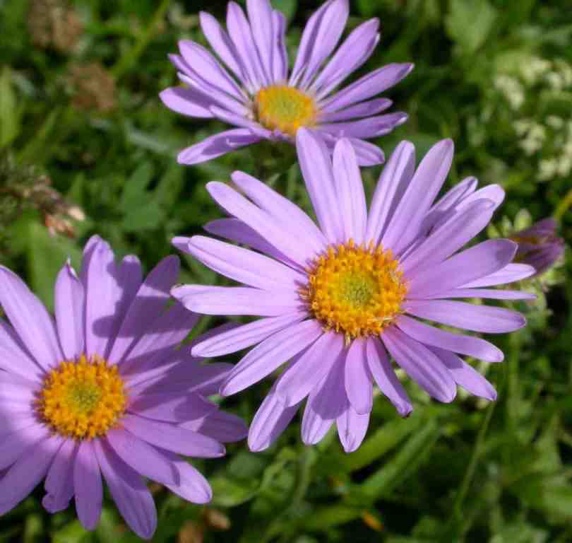 Fabulous Purple And Orange Aster Flower Plant For The Wallpaper