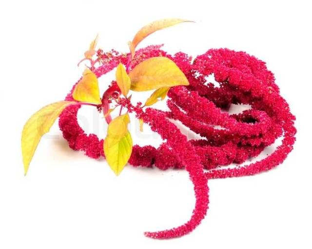 Fabulous Red Amaranth Flowers With Beautiful Leafs